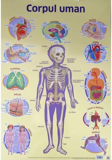 Plansa - Corpul uman